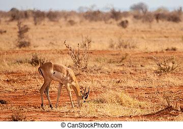 een, antilope, is, eten, in, de, savanne, van, kenia