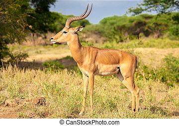 een, antilope, is, staand, in, de, savanne, kenia