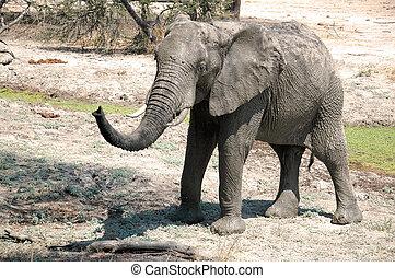 een, elefant, in, de, savanne, -, tanzania, -, afrika