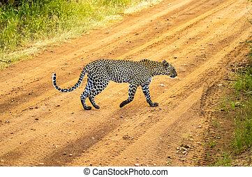 een, luipaard, kruising, de, spoor, in, samburu, park