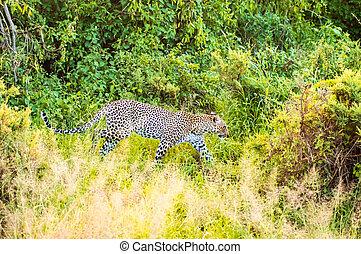 een, luipaard, wandelende, in, de, bos, in, samburu, park