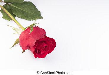 een, mooi, roos, op wit, achtergrond