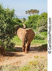 een, oud, elefant, in, de, savanne, van, samburu