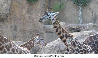 een, wilde dieren, giraffes