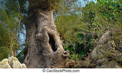 Eerie, Hollow Trunk of an Australian Pine Tree - Hollow...