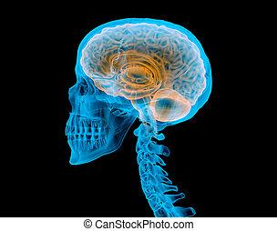 effect., brain., menschlicher schädel, röntgenaufnahme