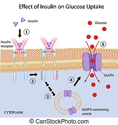 Effect of Insulin on glucose uptake, eps8