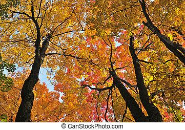 efterår, ahorn, træer