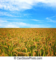 efterår, felt, ris