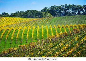 efterår, vingård