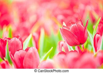 egészséges, és, gyönyörű, tulipán, menstruáció