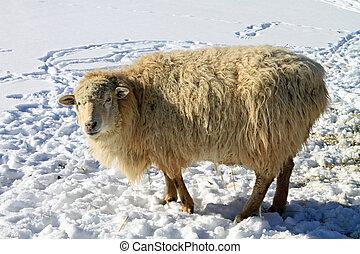 egészséges, sheep, hó
