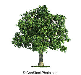 eg, (quercus), træ, isoleret, hvid