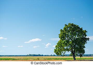 eg, solfyldt, træ, felt, grønne, dag