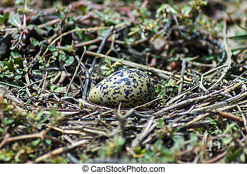 Egg of Oriental Pratincole bird on the ground.