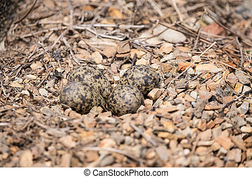 Egg of red-wattled lapwing on the ground.