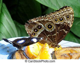 eggfly, grand, niagara, commun, morpho