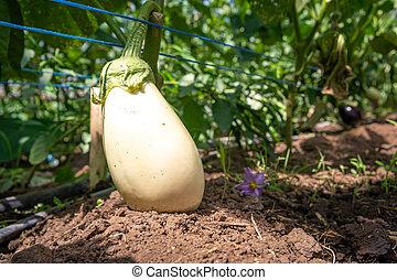 eggplant in a glass on an organic farm