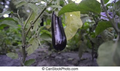 eggplant ripening on branch - organic eggplant ripening on...