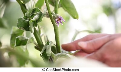 eggplants white plants, hand touch flower in the vegetable...