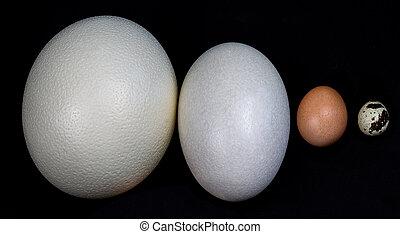 Eggs in a row - Ostrich, American Rhea, Chicken, Quail - An ...