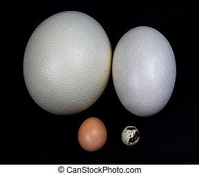 Eggs in a square - Ostrich, American Rhea, Chicken, Quail - ...