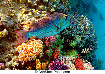 egipto, coral, rojo, arrecife, mar