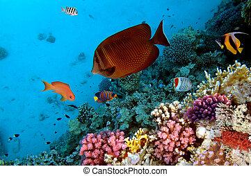 egipto, foto, coral, colonia, mar, rojo