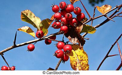 Eglantine fruits and blue sky