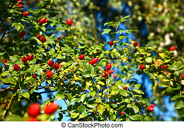 Eglantine fruits and green background with blue sky - ...