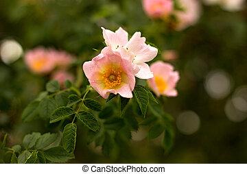 eglantine - wild rose blooming in the garden