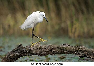 egret, わずかしか, 切り株, 木, 歩くこと, 小さい, 池