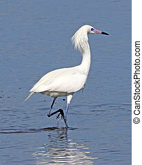 egret, 5, fischerei, rötlich