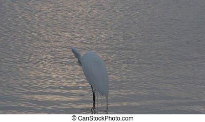 Egret and Heron Birds of Florida - Egret drops fish gets...
