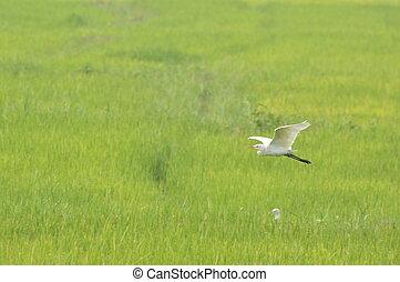 Egret Bird flying