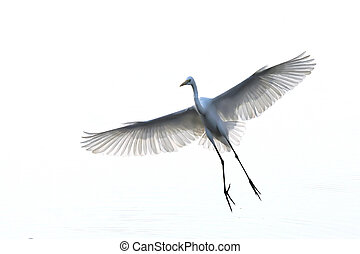 Isolated egret bird in flight