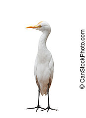 Egret Bird Standing - Isolated Egret Standing Straight
