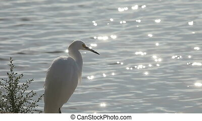egret by the lake - a snowy egret rests by a sparkling lake