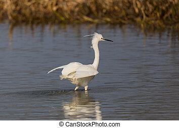 egret, (egretta, wenig, sonnenlicht, schilfgras, wasser,...