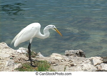 Egret Feeding - Common egret stands by the water\'s edge...