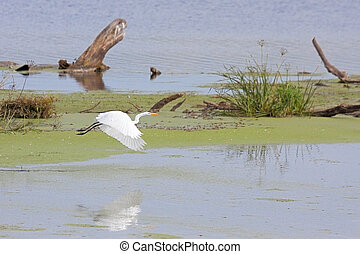 Egret Flies for From Marsh - A great white egret flaps its ...