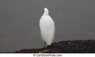 egret fluffy feathers - a snowy egret grooms itself,...