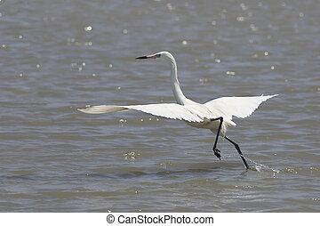 egret, flug, rötlich, morph, nehmen, weißes