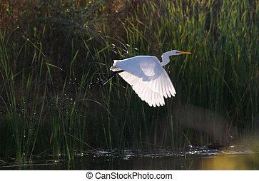 Egret flying - Great Egret in flight