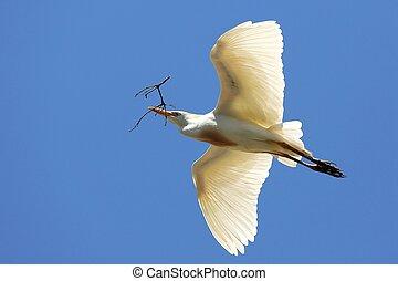 White cattle egret bird flying with nesting material in it's beak