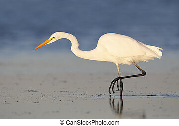 egret, grand, floride, fish, -, marcher dignement, parc, desoto, fort