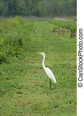 egret, grand, levée