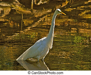 Egret hunting for food - This Snowy Egret is wading in a ...