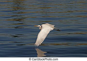egret in flight #2