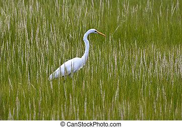 Egret In Grass